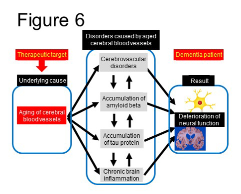 Figure 6. Improvement of brain function by regeneration of aged cerebral microvasculature